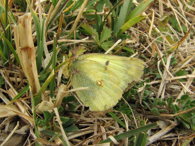 Colias spec. (NL: gele luzernevlinder) South of Erzurum