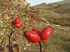 Rosa spec. near Sipikor Gecidi 2390m N.E. of Erzincan [7]