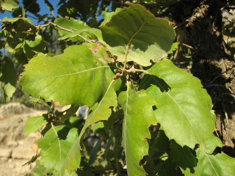 Adult leafs of Quercus brantii, Arsameia
