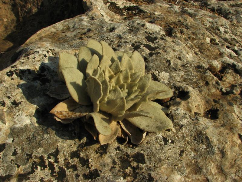 Verbascum spec.  5km  N.E. of Mazidagi [10]