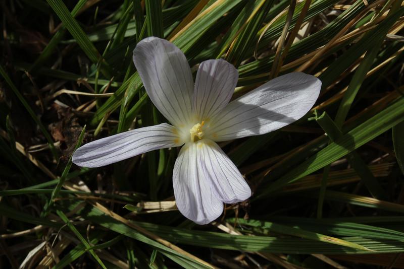 Crocus kotschyanus ssp. suworianus, Yeniköy 2400m before Sakaltutan Gecidi [5]
