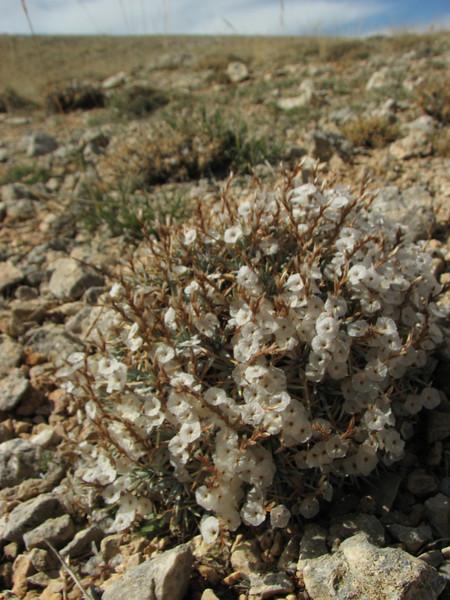 Acantholimon spec. out of flower, Ziyaret Gecidi 1900m [3] (Gurün-Pinarbasi)