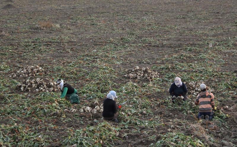 Harvesting the sugar beets, Yaylakent-Cayirli