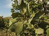 Quercus brantii, 800m, limestone, 5km  N.E. of Mazidagi [10]