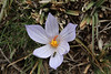 Crocus cancellatus ssp. damascenus, 5km  N.E. of Mazidagi [10]