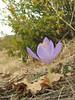 Crocus kotschyanus ssp. hakkariensis, 1800m between Haruna- and Sapatan Gecidi [16]