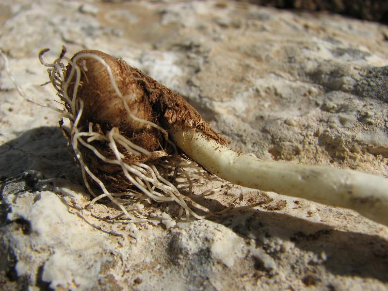 Crocus kotschyanus ssp. cappadocicus, Ziyaret Gecidi 1900m [3] (Gurün-Pinarbasi) (bulb only for determination purposes)