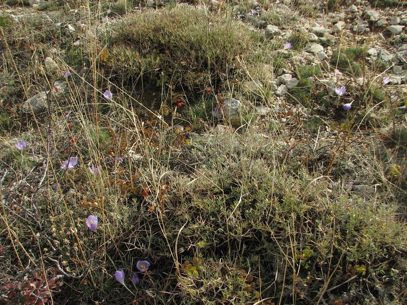 Crocus kotschyanus ssp. cappadocicus, Ziyaret Gecidi 1900m [3] (Gurün-Pinarbasi)
