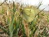 Colias spec.(NL: gele luzernevlinder) South of Erzurum