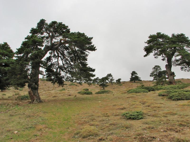 Habitat of Pinus sylvestris, Akdag, North of Amasya (Amasya-Koyulhisar) [4]