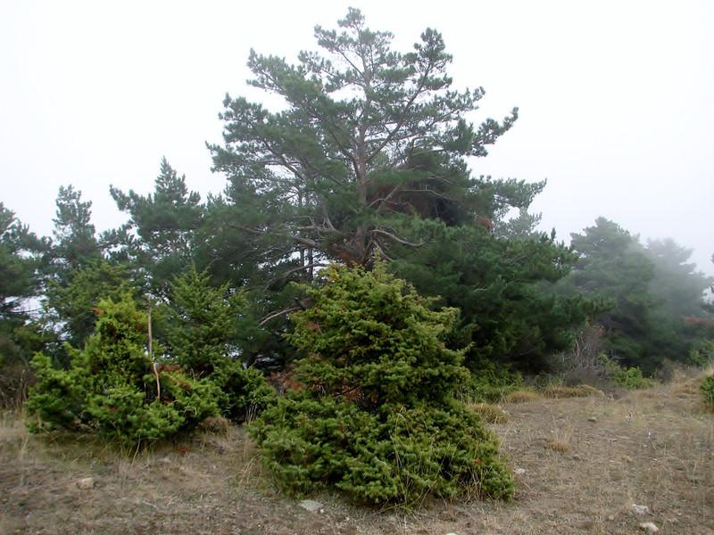 Habitat of Colchicum umbrosum with Juniperus oxycedrus, Akdag, North of Amasya (Amasya-Koyulhisar) [4]