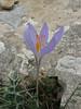 Crocus cancellatus ssp. damascenus, 13km South of Sanliurfu (Sanliurfu-Harran), 483m, on limestone-derived red clay [13]
