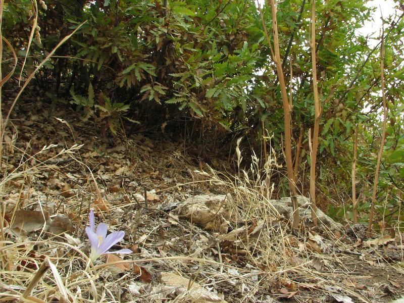 Habitat of Crocus kotschyanus ssp. hakkariensis, 1800m between Haruna- and Sapatan Gecidi [16]
