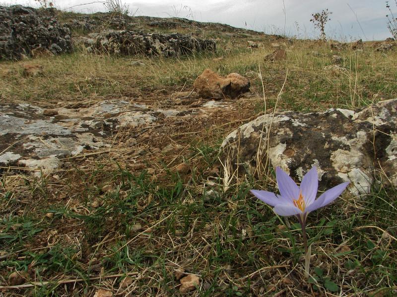 Habitat of Crocus cancellatus ssp. damascenus, alt. 550m, limestone, 50km East of Sanli-urfu [12]