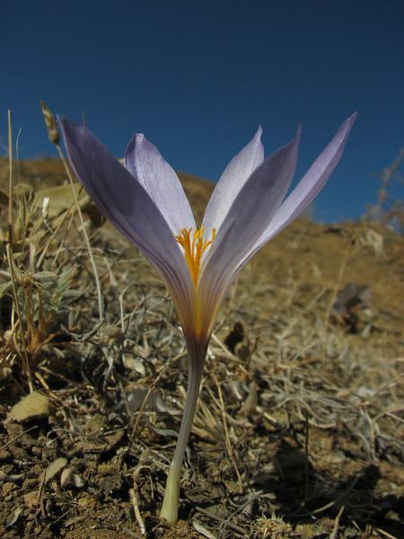 Crocus cancellatus ssp. damascenus    (Tepehan-Malatya)  3km before Kubbe Gecidi 1880m [1a]