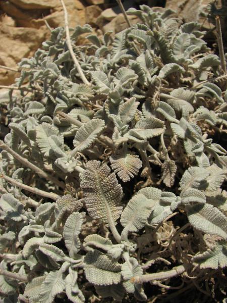 Tanacetum densum ssp. amani, Nemrut Dagi