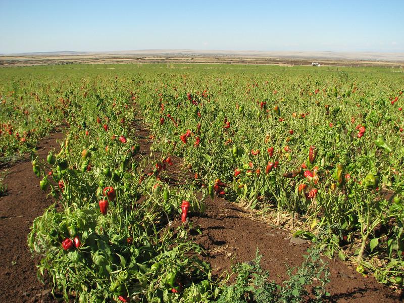 Peppers,     Diyarbakir - Siverek - Karacadag