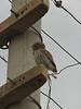 Athene noctua, Little Owl, (NL: steenuil) Harran