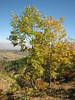 Quercus cerris ssp. cerris, Arsameia - Kubbe Gecidi 1880m