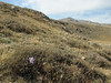 Habitat of Crocus kotschyanus ssp. cappadocicus, Ziyaret Gecidi 1900m [3] (Gurün-Pinarbasi)