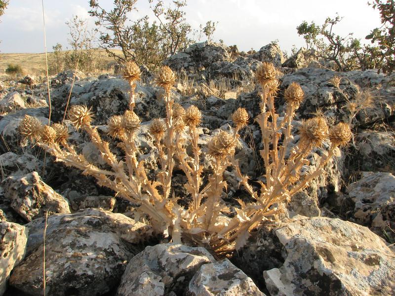 Carduus cf. lanuginosus, died back, between Mazidagi and Derik [11] alt. 955m, limestone