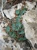 Rosularia cf. libanotica ?? Bögrüdelik Gecidi 1800m (Gürün-Ulas) [3]