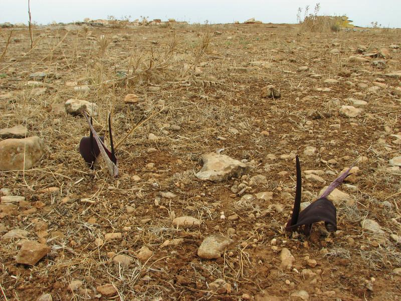 Biarum carduchorum, 13km South of Sanliurfu (Sanliurfu-Harran), 483m, on limestone-derived red clay [13]  (determination by Peter Boyce)