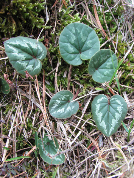 Cyclamen coum ssp. coum or ssp. caucasicum??, Akdag, North of Amasya (Amasya-Koyulhisar) [4]