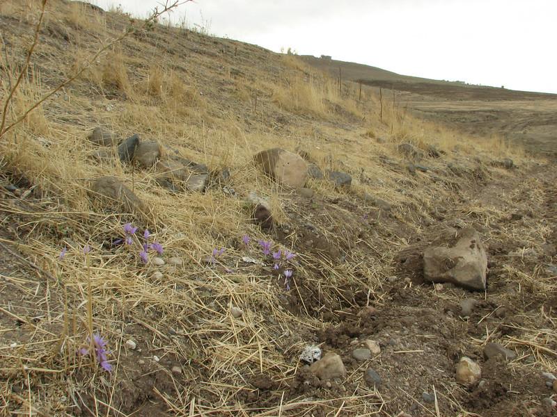Habitat of Crocus pallasii ssp. turcicus, alt. 500m 12km S.E. of Diyarbakir [9]