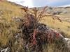 Cotoneaster spec. (cf. C. integerrimus) Bögrüdelik Gecidi 1800m (Gürün-Ulas)