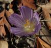Crocus kotschyanus ssp. hakkariensis, alt. 1680m, area of Sapatan Gecidi 1900m, 2km before Durak, near Semdinli [17]