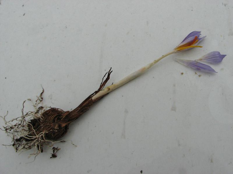 Crocus cancellatus ssp. damascenus, 13km South of Sanliurfu (Sanliurfu-Harran), 483m, on limestone-derived red clay [13]   (bulb only for determination purposes)