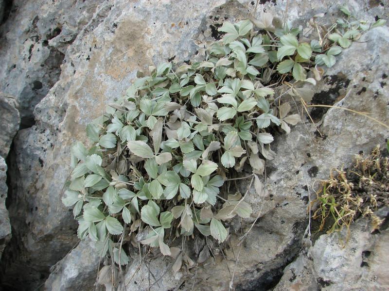 Potentilla speciosa,  Bögrüdelik Gecidi 1800m (Gürün-Ulas) [3]