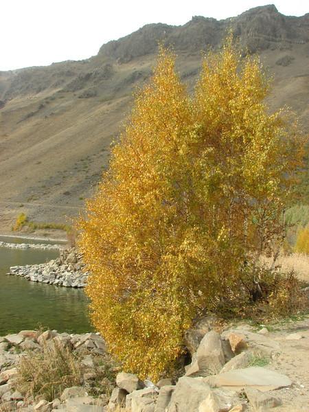 Betula pendula, Birch in volcano caldera: Nemrut Kalderasi National Monument with Nemrut Gölü, North of Bitlis