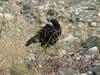 Corvus frugilegus, Rook, (NL: roek) Erzinkan