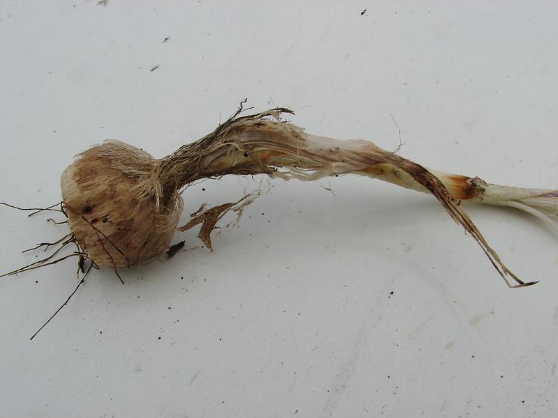 Crocus pallasii ssp. turcicus, alt. 500m 12km S.E. of Diyarbakir [9] (bulb only for determination purposes)