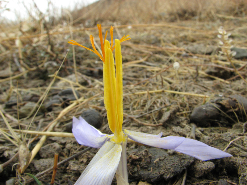 Crocus cancellatus ssp. damascenus, 1600m near Delezi Gecidi 2100m (Yüksekova-Esendere [Iran])[14a]