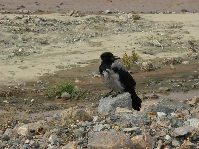 Corvus cornix, Hooded Crow, (NL: bonte kraai)Erzinkan