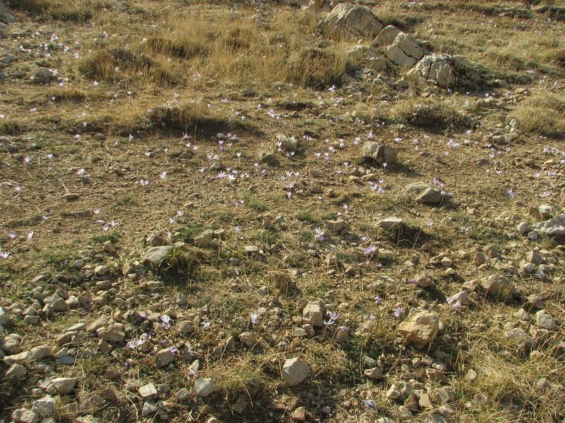 Crocus speciosus ssp. ilgazensis, Bögrüdelik Gecidi 1800m (Gürün-Ulas)[3]