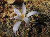 Crocus cancellatus ssp. damascenus, Mazikiran Gecidi 1800m (Gurün-Pinarbasi) [2]