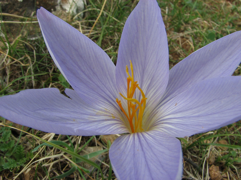 Crocus cancellatus ssp. damascenus, alt. 550m, limestone, 50km East of Sanli-urfu [12]