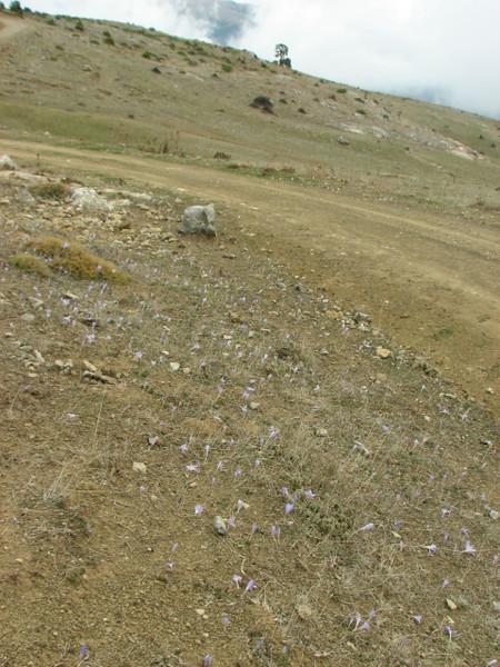 Habitat of Crocus speciosus ssp. ilgazensis, Akdag, North of Amasya (Amasya-Koyulhisar) [4]