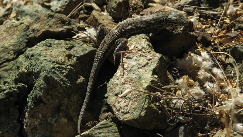 Lizard, 3km before Kubbe Gecidi 1880m (Tepehan-Malatya)