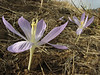 Crocus kotschyanus ssp. hakkariensis, South of Deleze Gecidi 2100m, N.E. of Yüksekova [14b]