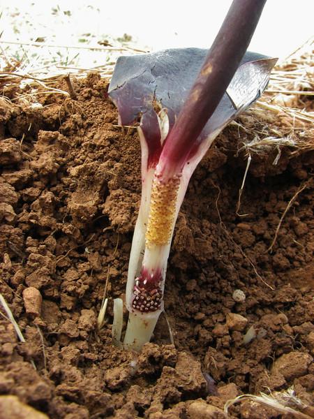 Flower of Biarum carduchorum, 50km East of Sanli-urfu, 550m on limestone-derived red clay [12] (determination by Peter Boyce)