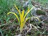Sternbergia colchiciflora, between Mazidagi and Derik alt. 955m, limestone  [11]
