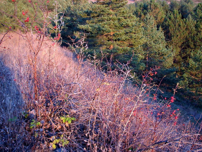 Rosa spec. Camlibel near Amasya (Sivas-Tokat-Amasya)