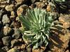 Cochlearia sempervivum, near Koyulhisar (NE of Erzincan) [Identification Prof. Dr. Hayri Duman]