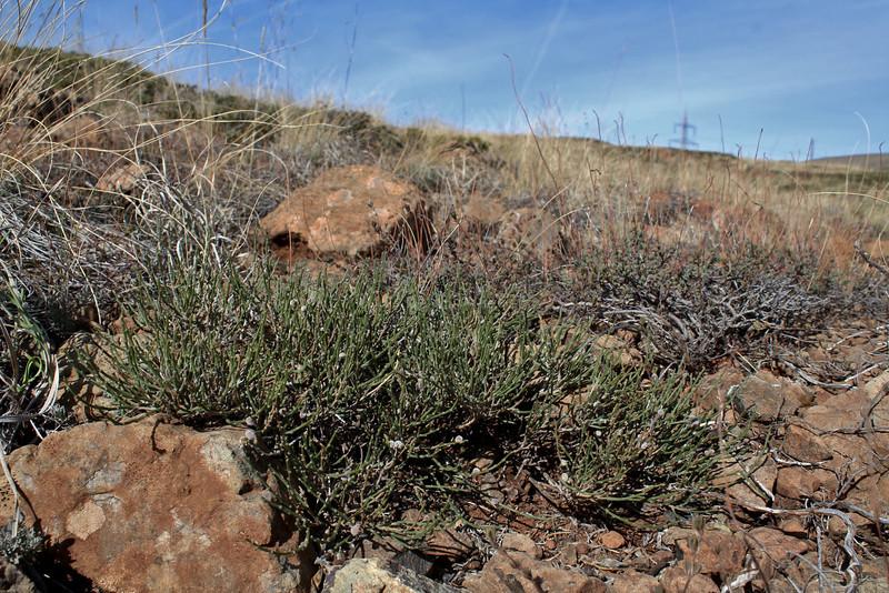 Ephedra spec., near Koyulhisar (NE of Erzincan)