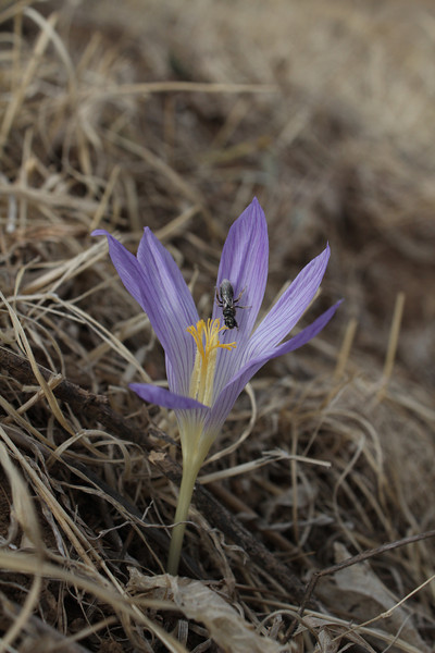 Crocus kotschyanus ssp. hakkariensis and a bee, his pollinator, South of Deleze Gecidi 2100m, N.E. of Yüksekova [14b]